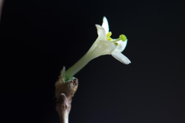 白花ウグイスカグラ-06