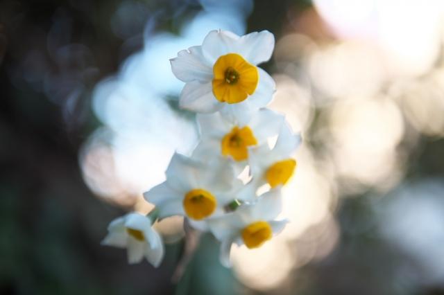 原種スイセンの開花