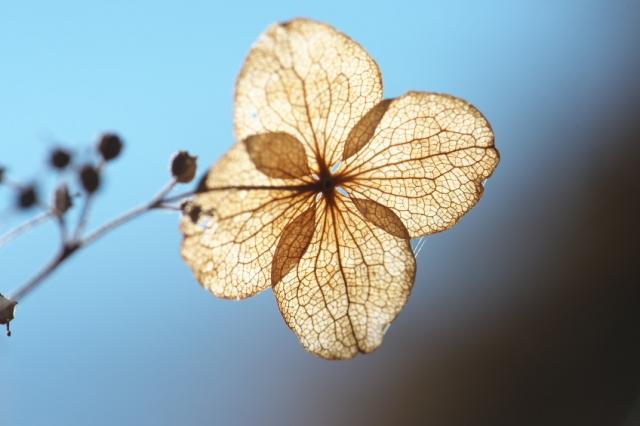 タマアジサイの萼片-05