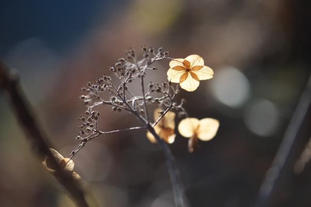 タマアジサイの萼片-02