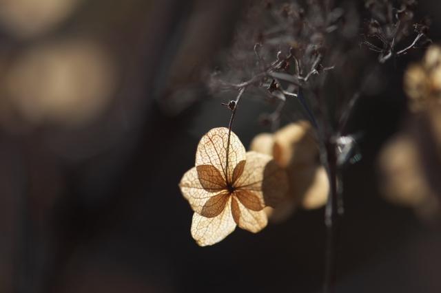 タマアジサイの萼片-03