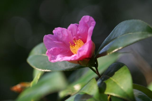 ピンクのツバキ-01