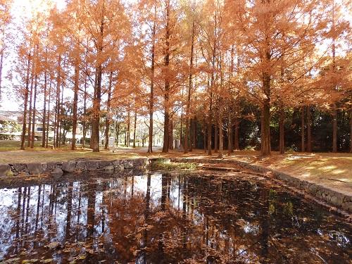 新檜尾公園のメタセコイア1
