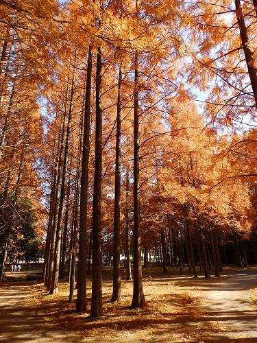 新檜尾公園のメタセコイア2