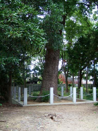 日枝神社の大楠木