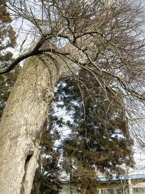 元諏訪神社境内のハルニレの大木