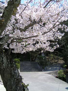 参道石段と桜