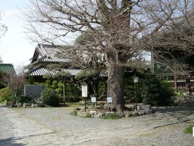金乗寺の府指定天然記念物「いちょう」と庫裏