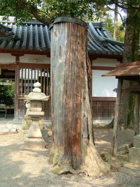 西葛城神社駒つなぎの杉