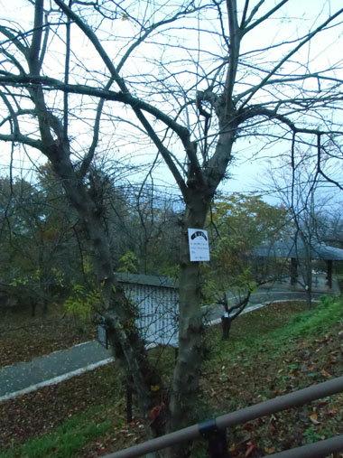 天童城主郭西側のサイカチの木