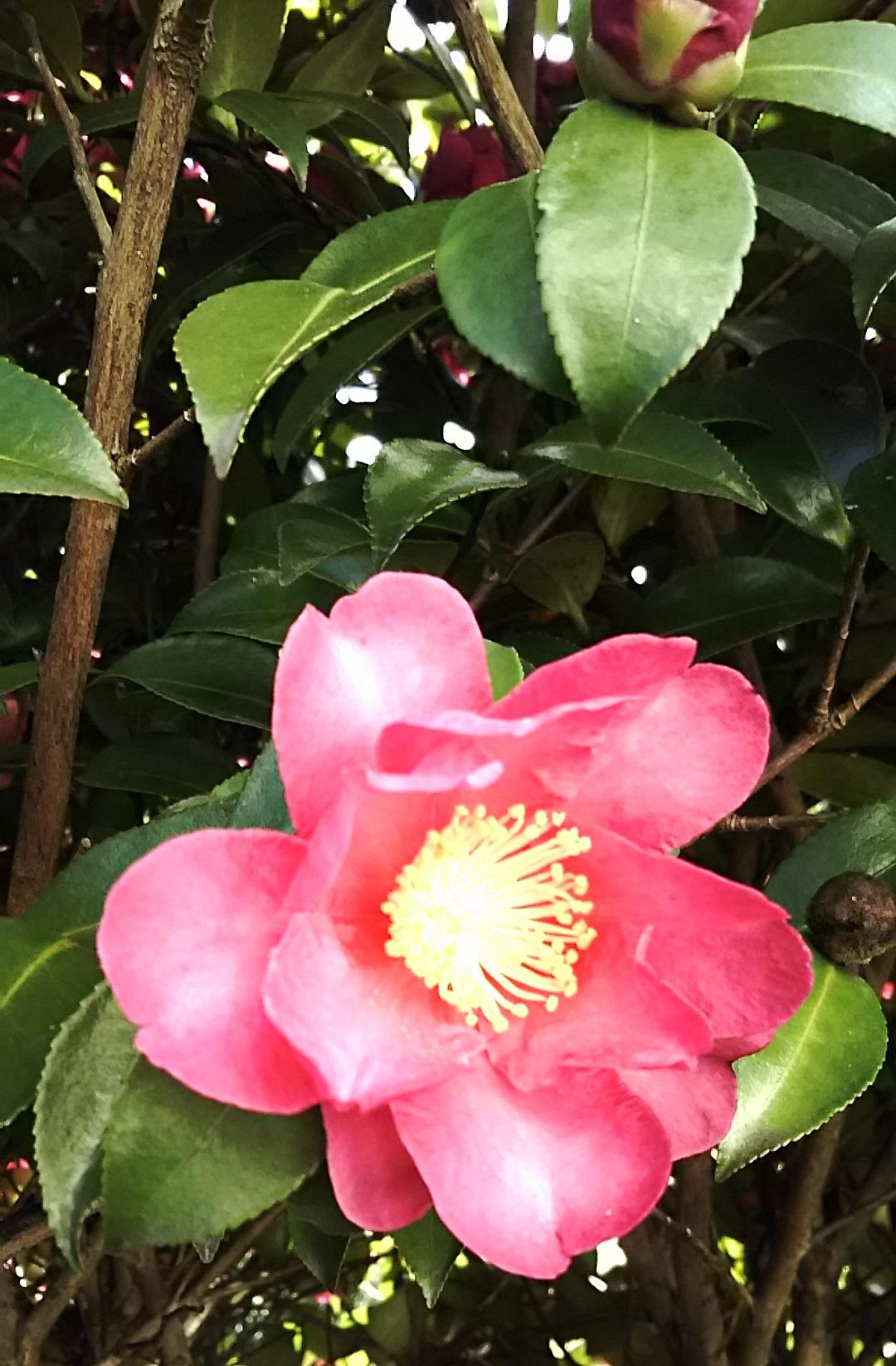 20160111今年のサザンカはよく咲いています