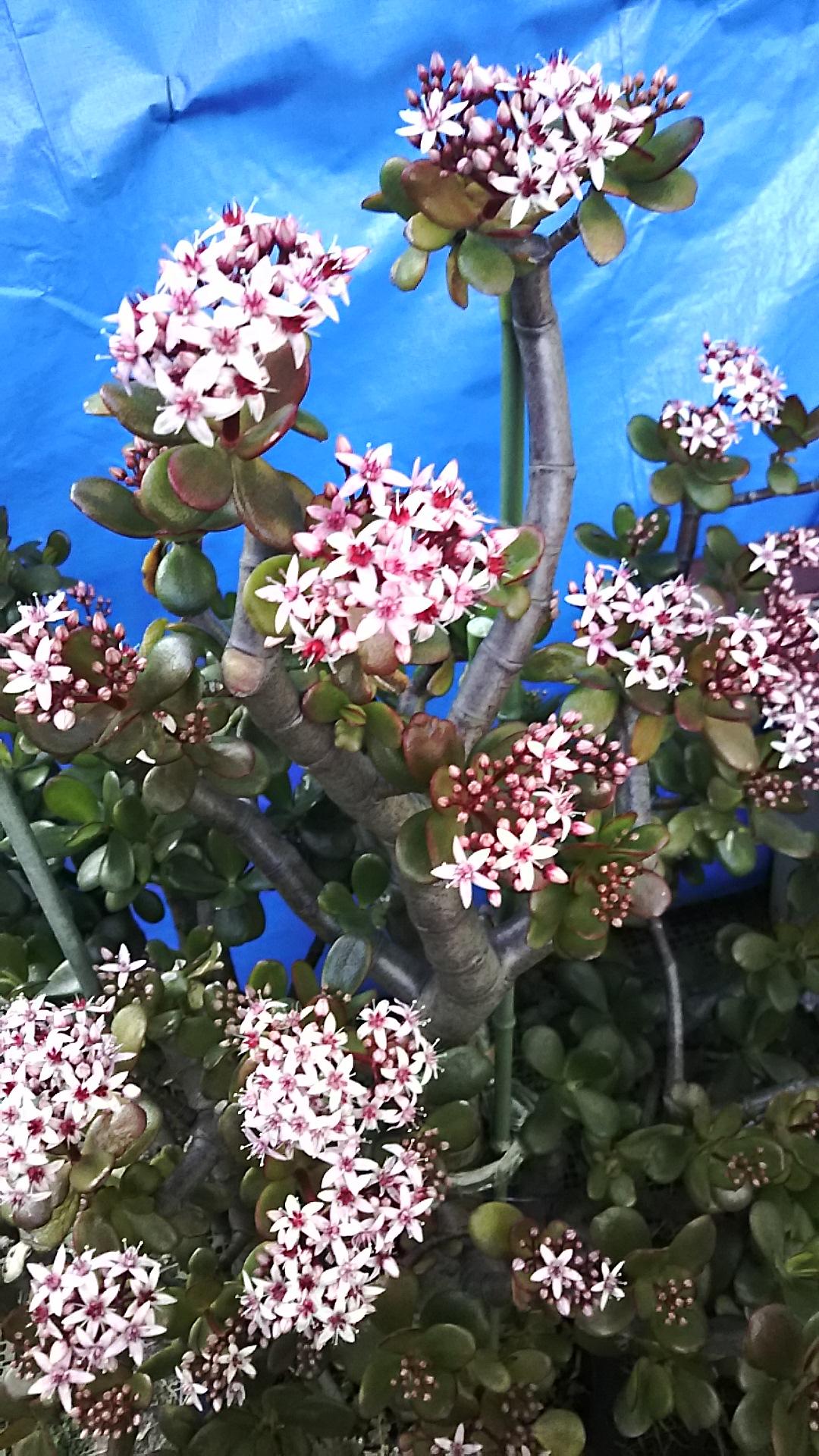 20160113 金のなる木花