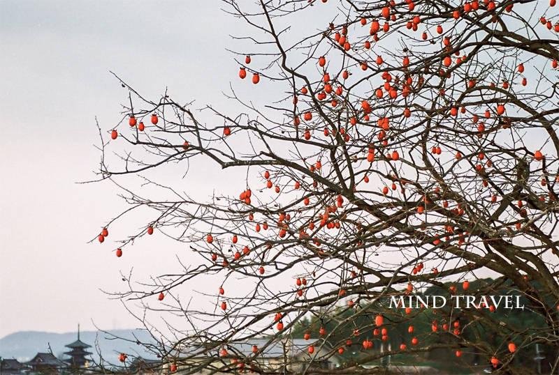 法隆寺 柿
