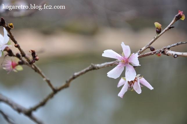 冬桜と紅梅