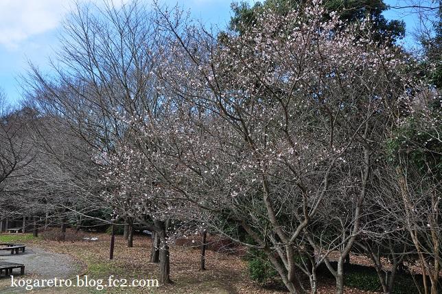 冬桜と紅梅3