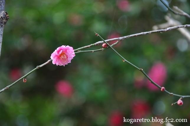 冬桜と紅梅5