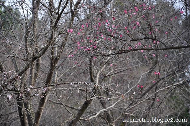 冬桜と紅梅6