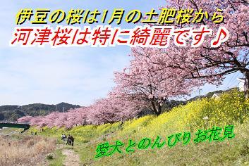 sakurasin_20160125015912747.jpg