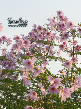 yuruiro20151117_k004