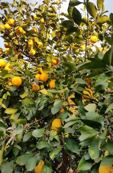 角田レモン樹