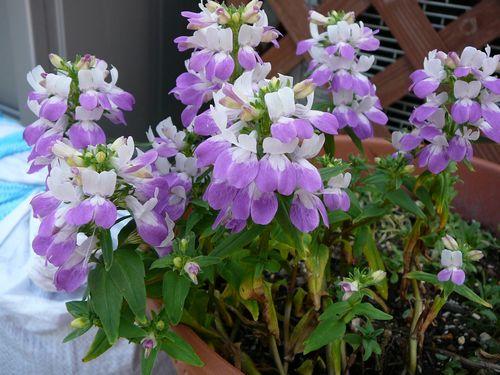 2015コリンシアバイカラ― 開花