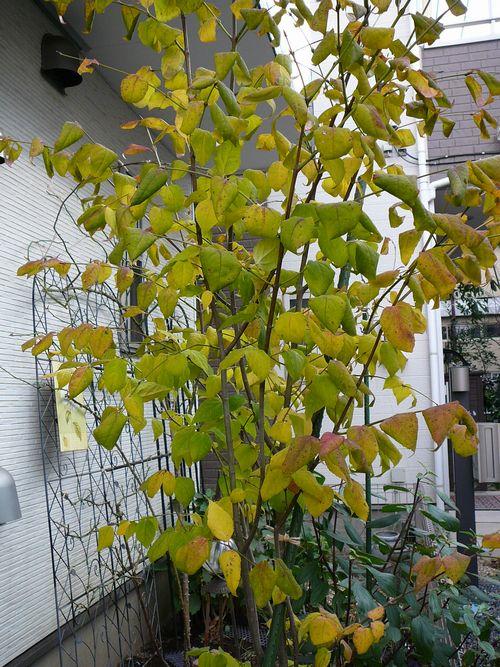 2015秋 ツリバナ