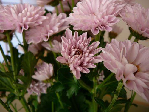 スプレー菊 切り花