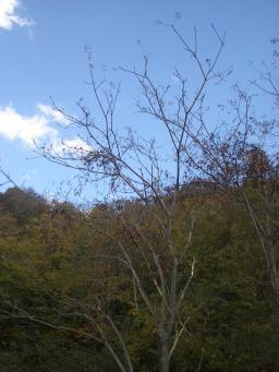 絡みついた山ブドウ