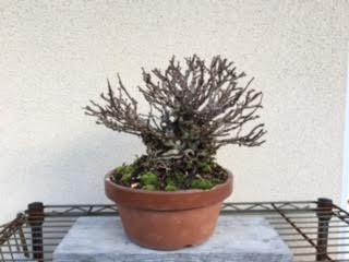 長寿梅151217-1