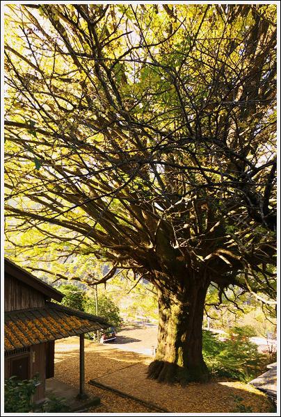 2015年12月1日 福定の大銀杏ツーリング (7)