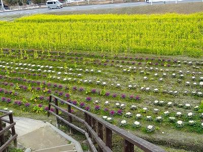 奧殿陣屋の菜の花
