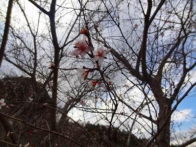 奧殿陣屋の桜