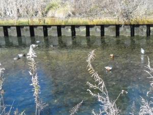 水鳥が遊ぶ海老川