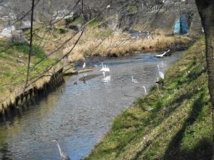 サギが遊ぶ海老川