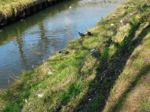 堤で草を食べるオオバン