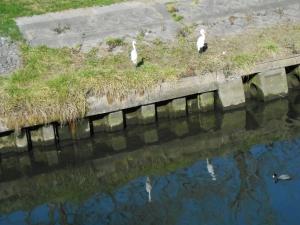 川面に映るダイサギ