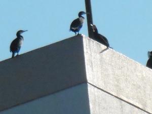 ビル屋上のカワウたち