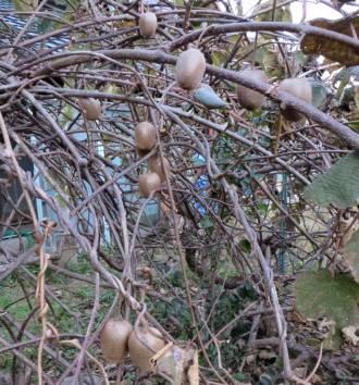 2015_12 18_冬の果樹・1