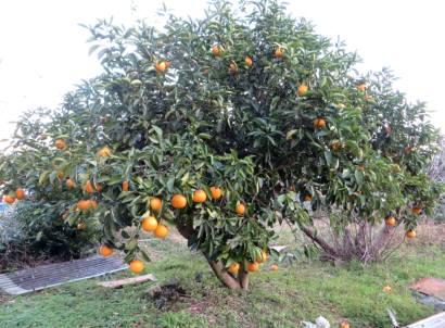 2015_12 22_冬の果樹・3