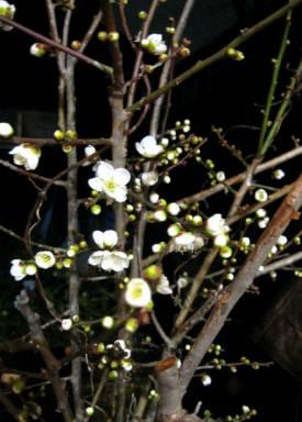 2016_01 29_寒の梅と椿・2