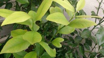 レモンの葉・ハート形