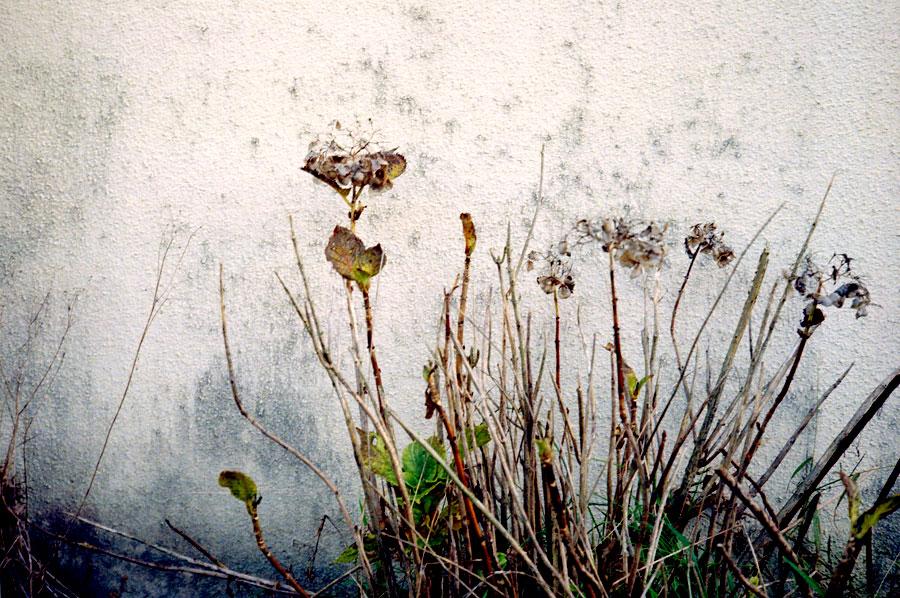 壁際の枯れた花