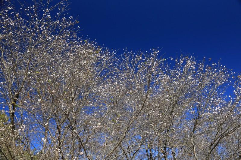 YOSI014410月桜&冬桜