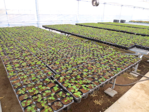 Lupinus polyphyllus ラッセルルピナス 交配 生産 販売 松原園芸