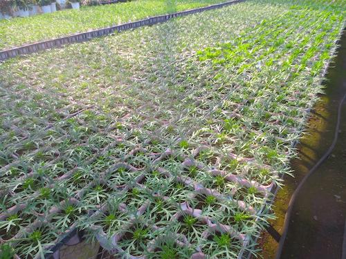 マーガレット 1作目 摘芯 ぽぽたん 育種 生産 販売 松原園芸 オリジナル品種