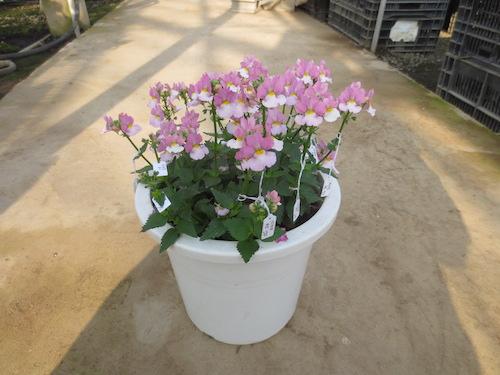 ネメシア 交配 育種 生産 販売 松原園芸 オリジナル品種
