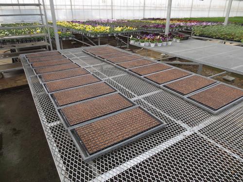 20150106 ニチニチソウ 1作目 サルビア ファリナセア 播種1