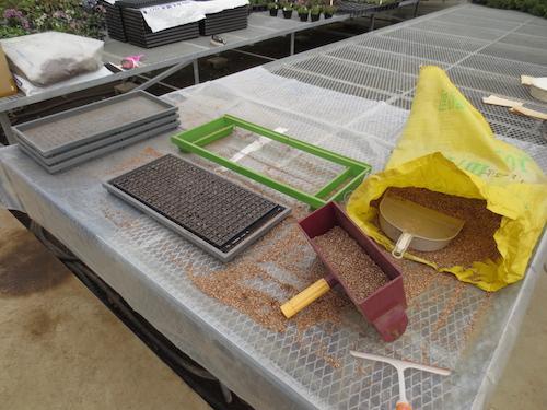 20150106 ニチニチソウ 1作目 サルビア ファリナセア 播種2