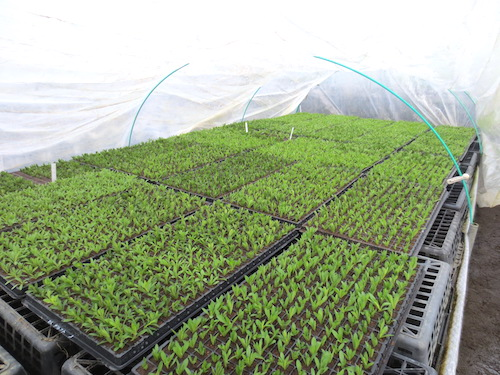 カリブラコア ティエルノ 挿し芽 育種 生産 販売 松原園芸