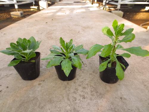 オステオスペルマム 育種 品種改良 松原園芸